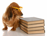 dog obedience - dachshund sitting beside stack of books poster