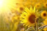 Sunflower on a meadow in the light of the setting sun - Fine Art prints