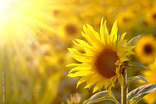 Aluminium Zonnebloemen Sunflower on a meadow in the light of the setting sun