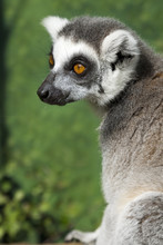 Portrait Of A Madagascar Ring Tailed Lemur