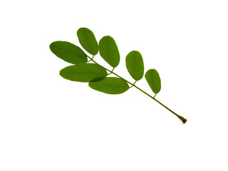 Green branch of an acacia