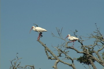 White Ibis In Trees