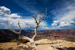 Grand Canyon Tree - 17496298