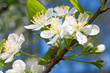 Blossoming twig of cherry-tree