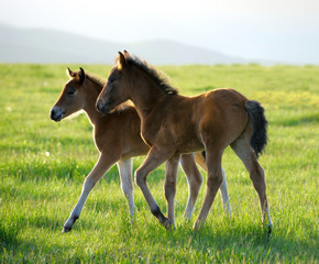two foals on spring meadow