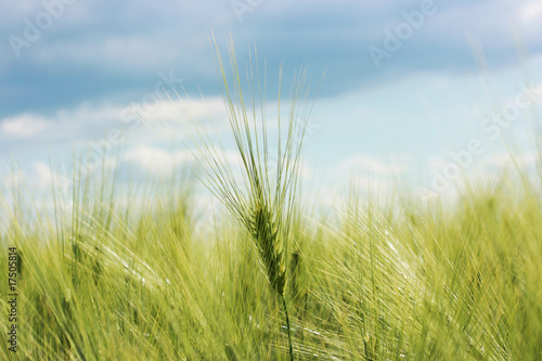 wheat field with clowdy sky