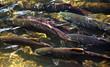 Multi-colored Salmon Spawning Up River Issaquah Creek Washington