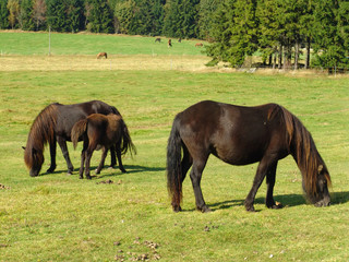 Grazing black Horses on the green Field