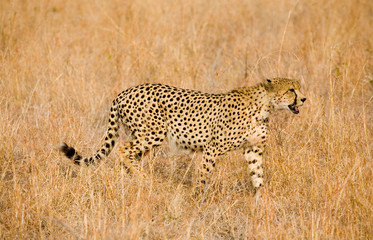 Cheetah stalking in grass