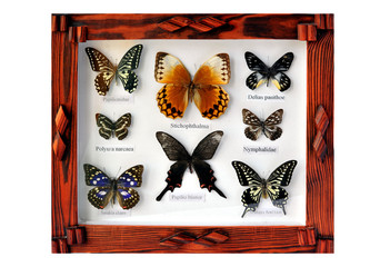 A framed and mounted collection of butterflies