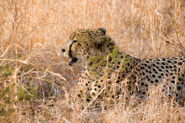 Cheetah in the grass in South Africa
