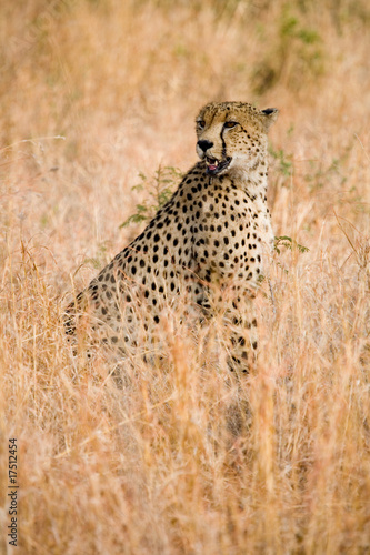 Wild cheetah sitting in the grass in Africa