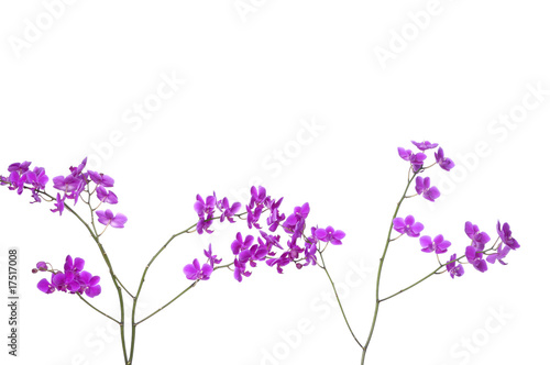 Two branch of violet orchids
