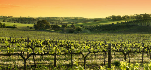 Barossa Valley vinyards at sunset