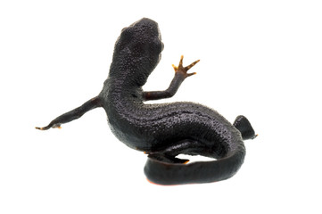 Fire Bellied Newt Waving