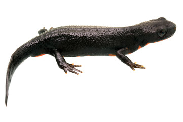 Fire Bellied Newt Profile