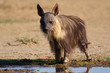 Brown hyena, Kalahari, South Africa