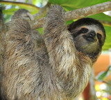 Fototapety three toed sloth male juvenile in tree, costa rica