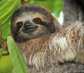 three toed sloth male juvenile in tree, costa rica