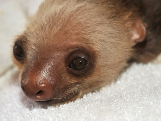 two toed sloth baby, costa rica