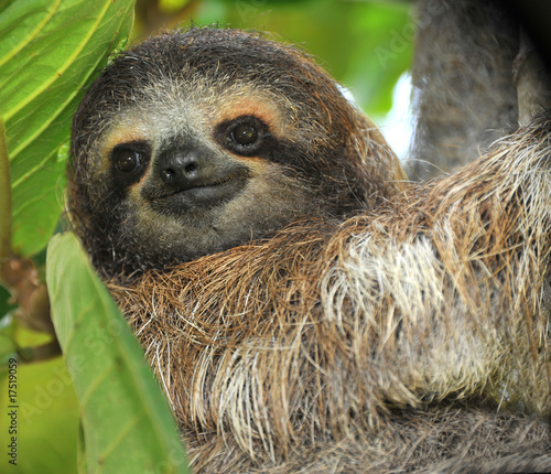 three toed sloth male juvenile in tree, costa rica