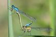 Paarung der Pechlibelle