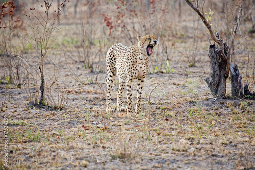 Cheetah in the bush