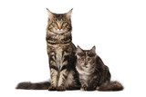 Maine-coon cats family poster