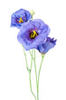 Blue eustoma isolated on white