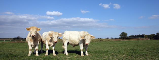 trois vaches panoramiques