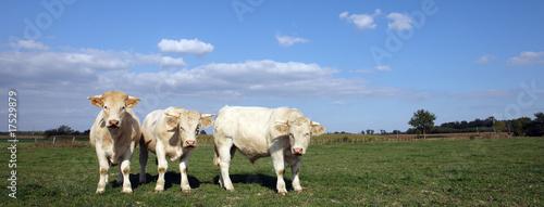 Papiers peints Vache trois vaches panoramiques