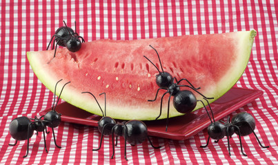 Black Ants Eating Watermelon