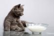 Perser Welpe mit Milch 06