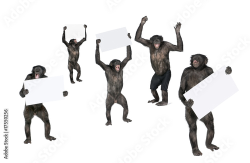 protesting monkey against white background