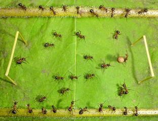 micro football - ants play soccer