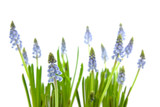 Muscari botryoides also known as blue grapes flowers poster