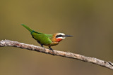 White-throated Bee-eater poster