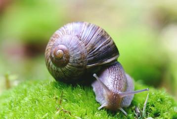 (Helix pomatia) edible snail macro