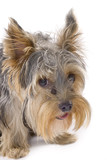 purebred dog (Yorkshire terrier) isolated on white poster