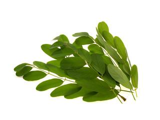 Green branch of an acacia