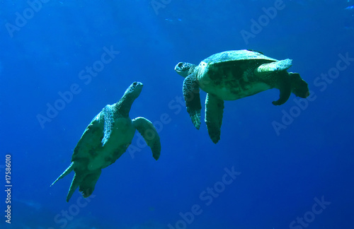Green Sea Turtles Playing - 17586010