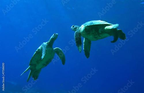 Leinwandbild Motiv Green Sea Turtles Playing