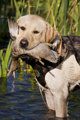 Yellow lab with Teal