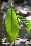 Leaves, Australia