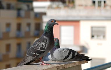 coppia piccioni