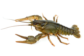 Crayfish isolated on the white background