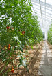 Tomatoes in a sunny greenhouse