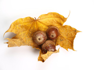 Acorns with leaf on white background