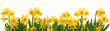 Spring daffodils border
