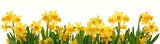 Fototapety Spring daffodils border